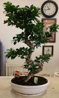 100 cm yüksekliğinde dev bonsai japon ağacı  Diyarbakır cicekciler , cicek siparisi