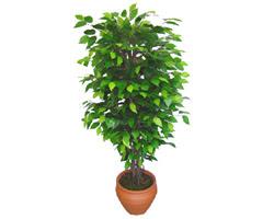 Ficus Benjamin 1,50 cm   Diyarbakır ucuz çiçek gönder