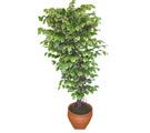 Ficus özel Starlight 1,75 cm   Diyarbakır çiçek gönderme