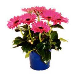 vazo içerisinde gerbera çiçekleri   Diyarbakır çiçek yolla