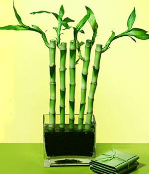 Diyarbakır ucuz çiçek gönder  Good Harmony Lucky Bamboo camda