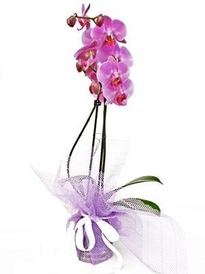 Diyarbakır ucuz çiçek gönder  Kaliteli ithal saksida orkide