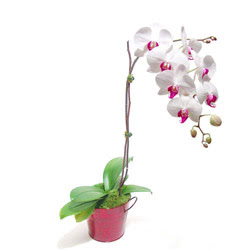 Diyarbakır anneler günü çiçek yolla  Saksida orkide