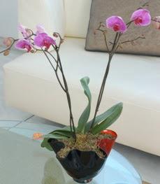 Diyarbakır güvenli kaliteli hızlı çiçek  tek dal ikili orkide saksi çiçegi