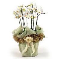 Diyarbakır yurtiçi ve yurtdışı çiçek siparişi  3 dal orkide , saksi çiçegi , 3 kök orkide