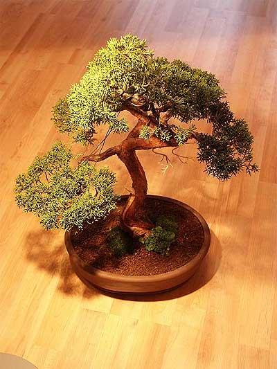 ithal bonsai saksi çiçegi  Diyarbakır internetten çiçek satışı