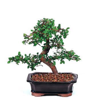 ithal bonsai saksi çiçegi  Diyarbakır çiçek gönderme sitemiz güvenlidir