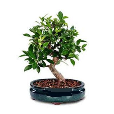 ithal bonsai saksi çiçegi  Diyarbakır yurtiçi ve yurtdışı çiçek siparişi