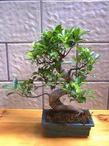 ithal bonsai saksi çiçegi  Diyarbakır hediye çiçek yolla