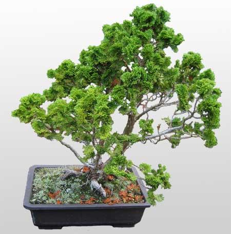 ithal bonsai saksi çiçegi  Diyarbakır cicekciler , cicek siparisi