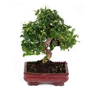 ithal bonsai saksi çiçegi  Diyarbakır ucuz çiçek gönder