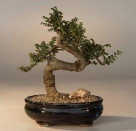 ithal bonsai saksi çiçegi  Diyarbakır çiçek , çiçekçi , çiçekçilik