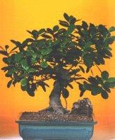 Diyarbakır hediye sevgilime hediye çiçek  ithal bonsai saksi çiçegi  Diyarbakır İnternetten çiçek siparişi