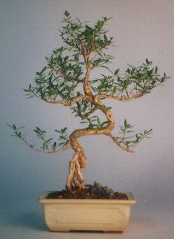 Diyarbakır çiçek online çiçek siparişi  ithal bonsai saksi çiçegi  Diyarbakır çiçek gönderme sitemiz güvenlidir