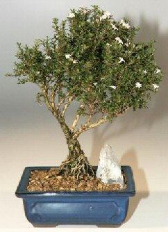 Diyarbakır çiçek servisi , çiçekçi adresleri  ithal bonsai saksi çiçegi  Diyarbakır çiçek yolla