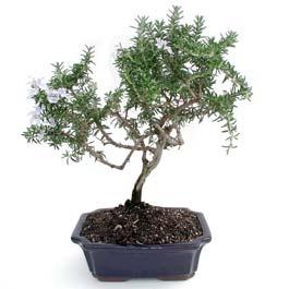 ithal bonsai saksi çiçegi  Diyarbakır hediye sevgilime hediye çiçek