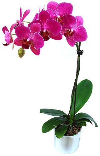 Diyarbakır güvenli kaliteli hızlı çiçek  saksi orkide çiçegi