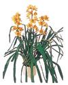 Diyarbakır çiçek yolla , çiçek gönder , çiçekçi   Orchiede ithal büyük boy saksi