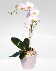 1 dallı orkide saksı çiçeği  Diyarbakır online çiçek gönderme sipariş