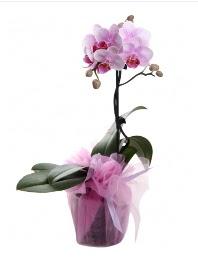 1 dal pembe orkide saksı çiçeği  Diyarbakır çiçekçiler