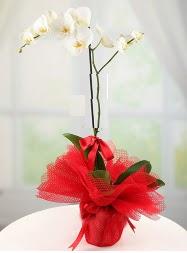 1 dal beyaz orkide saksı çiçeği  Diyarbakır çiçek siparişi vermek