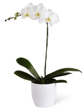 1 dallı beyaz orkide  Diyarbakır çiçek , çiçekçi , çiçekçilik