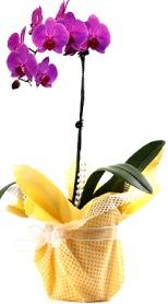 Diyarbakır yurtiçi ve yurtdışı çiçek siparişi  Tek dal mor orkide saksı çiçeği