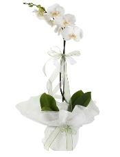 1 dal beyaz orkide çiçeği  Diyarbakır çiçek gönderme sitemiz güvenlidir