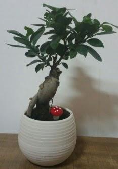 Bonsai japon ağacı saksı çiçeği  Diyarbakır uluslararası çiçek gönderme