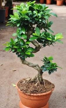 Orta boy bonsai saksı bitkisi  Diyarbakır İnternetten çiçek siparişi