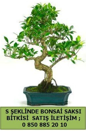 İthal S şeklinde dal eğriliği bonsai satışı  Diyarbakır anneler günü çiçek yolla