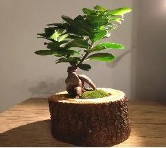 Doğal kütükte Bonsai japon ağacı satışı  Diyarbakır online çiçekçi , çiçek siparişi