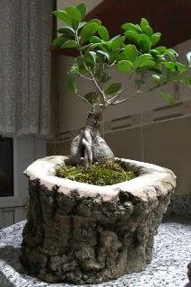 Ahşap kütük içerisinde ginseng bonsai  Diyarbakır İnternetten çiçek siparişi