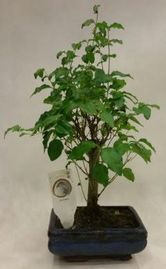 Minyatür bonsai japon ağacı satışı  Diyarbakır hediye sevgilime hediye çiçek