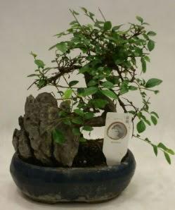 İthal 1.ci kalite bonsai japon ağacı  Diyarbakır çiçek online çiçek siparişi