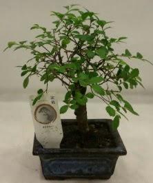 Minyatür ithal japon ağacı bonsai bitkisi  Diyarbakır çiçek online çiçek siparişi