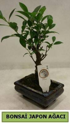 Bonsai japon ağacı saksı bitkisi  Diyarbakır çiçek siparişi sitesi