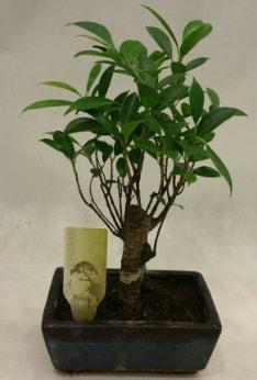 Japon ağacı bonsai bitkisi satışı  Diyarbakır hediye sevgilime hediye çiçek