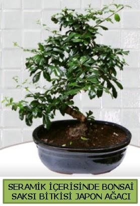 Seramik vazoda bonsai japon ağacı bitkisi  Diyarbakır yurtiçi ve yurtdışı çiçek siparişi