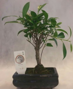 Bonsai japon ağacı bitkisi satışı  Diyarbakır uluslararası çiçek gönderme