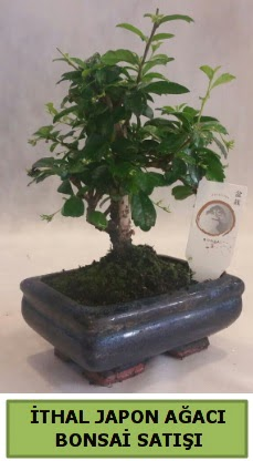 İthal japon ağacı bonsai bitkisi satışı  Diyarbakır hediye sevgilime hediye çiçek