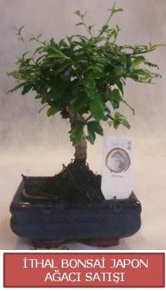 İthal küçük boy minyatür bonsai ağaç bitkisi  Diyarbakır hediye sevgilime hediye çiçek