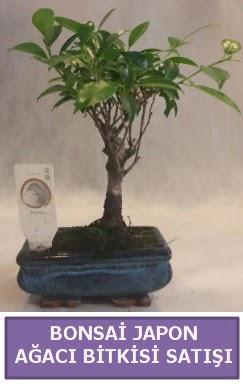 İthal Bonsai japon ağacı bitkisi satışı  Diyarbakır cicekciler , cicek siparisi