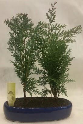 SINIRLI SAYIDA Selvi Ağacı bonsai ikili  Diyarbakır hediye sevgilime hediye çiçek