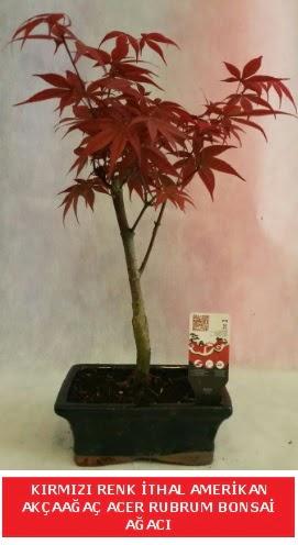 İTHAL ACER RUBRUM BONSAİ AĞACI  Diyarbakır uluslararası çiçek gönderme