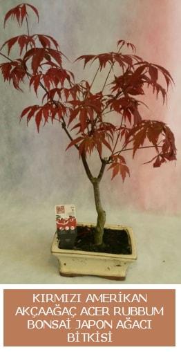 Amerikan akçaağaç Acer Rubrum bonsai  Diyarbakır çiçek satışı
