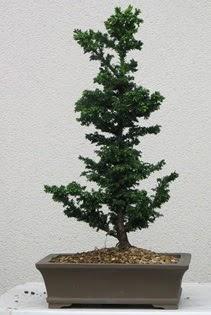 Çam ağacı bonsai bitkisi satışı  Diyarbakır hediye sevgilime hediye çiçek