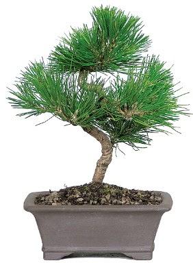Çam ağacı bonsai japon ağacı bitkisi  Diyarbakır anneler günü çiçek yolla