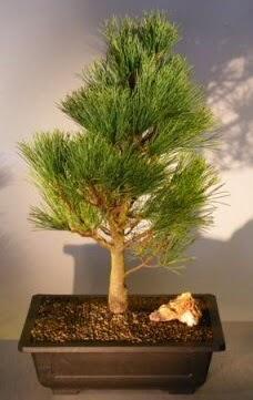 Çam ağacı japon ağacı bitkisi bonsai  Diyarbakır hediye sevgilime hediye çiçek
