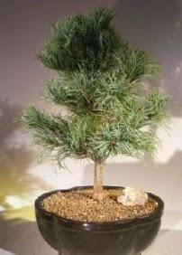 Çam ağacı bonsai bitkisi satışı  Diyarbakır çiçek mağazası , çiçekçi adresleri